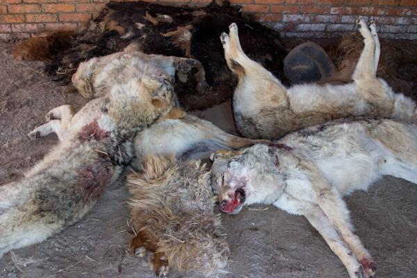 La muerte de una cabra o un yak puede tener grandes consecuencias en la economía de los nómadas, por eso matan a os lobos tan pronto se acercan a la zona.